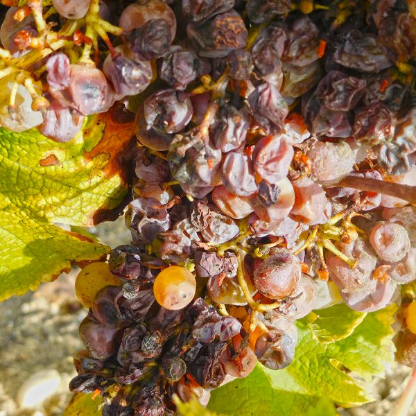 "Grapes with the ""Noble Rot"" in Sauternes"
